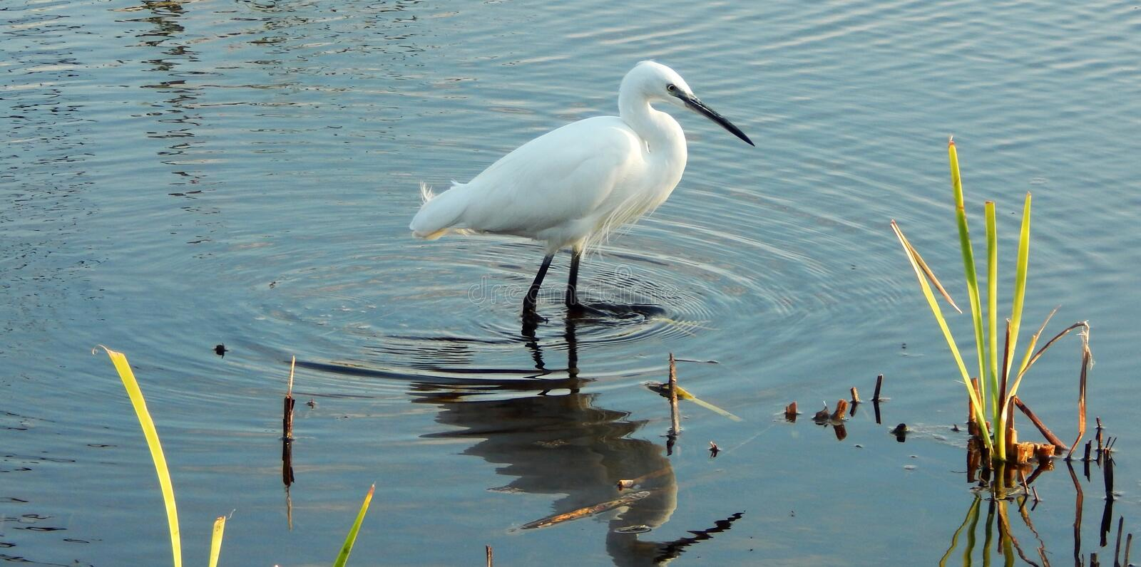 Little Egret Sedgefield South Africa. Little Egret busy looking for fish in the shallow waters of Rondevlei. Sedgefield South Africa stock photo