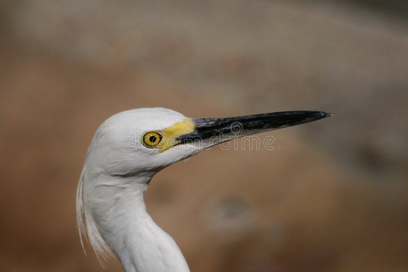 Little Egret side head shot stock photo