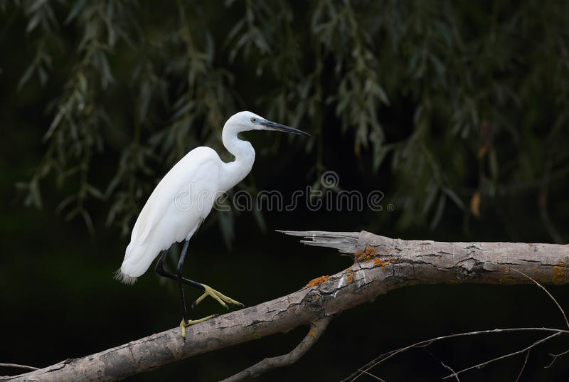 A Little Egret sitting on a branch stock photography