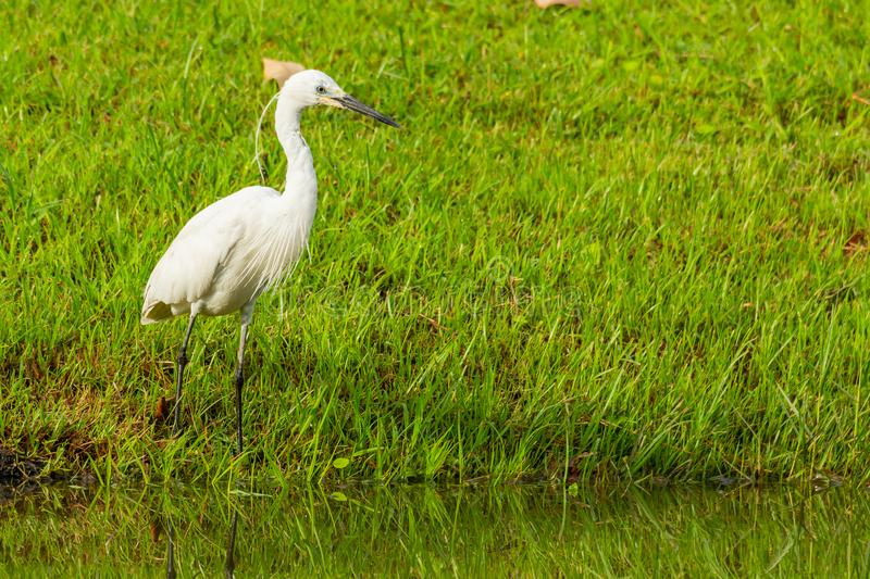 Little Egret standing near a pond finding for fish royalty free stock image