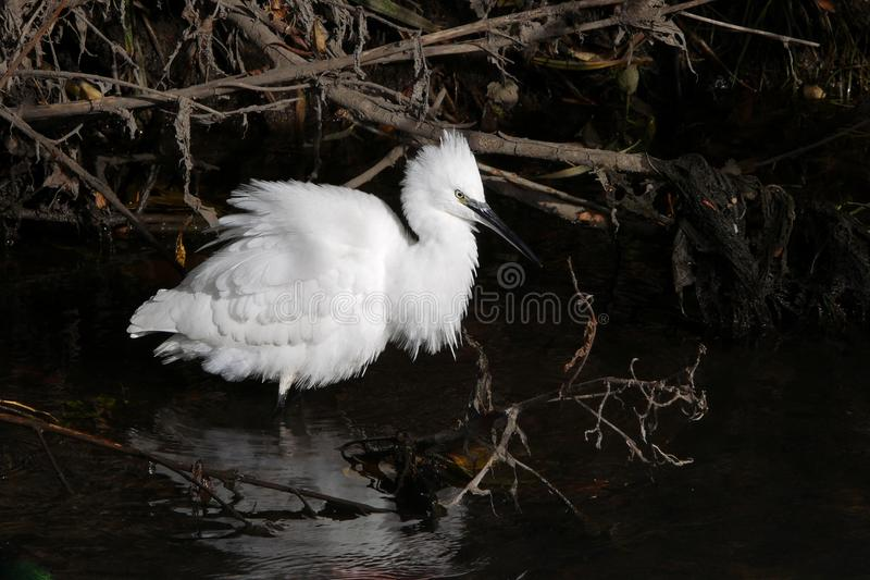 Little Egret white bird wading in the river royalty free stock images