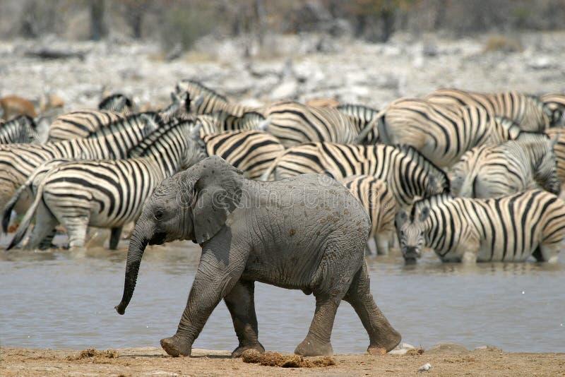 Little elephant. In Etosha national park, Namibia
