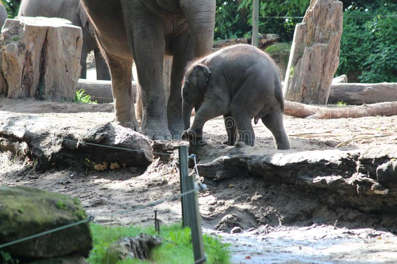 Little elephant with its mother outside in the Blijdorp zoo in Rotterdam the Netherlands. Little elephant with its mother outside in the Blijdorp zoo in stock photo