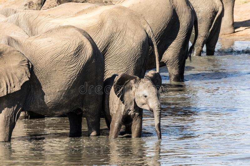 The little elephant wants to go his own way. A herd of elephants drink water in a pond in the Hwange National Park of Zimbabwe. In the photograph all the adult stock photography