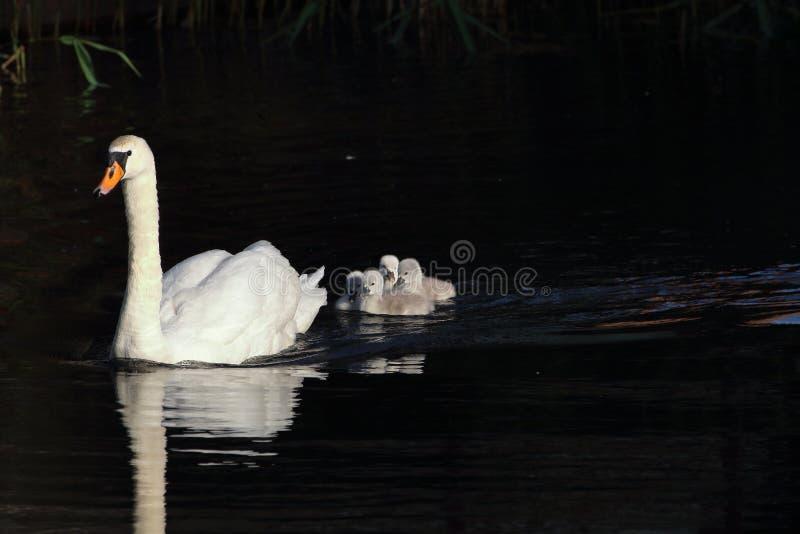 Little enjoyable swans with mum stock photo