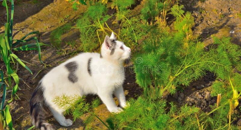 Little European black and white kitten hunting stock photo