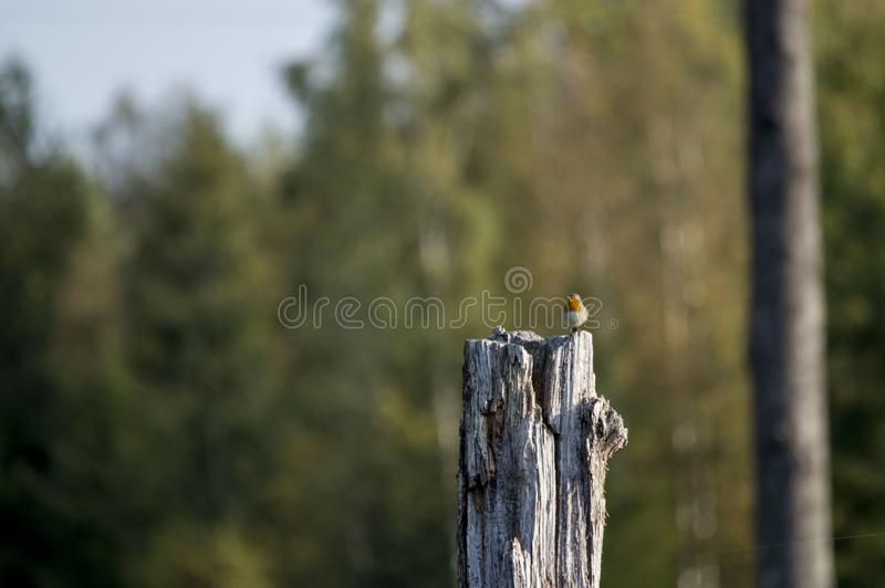 Little European Robin Erithacus rubecula in the cutting area in Estonia. stock image