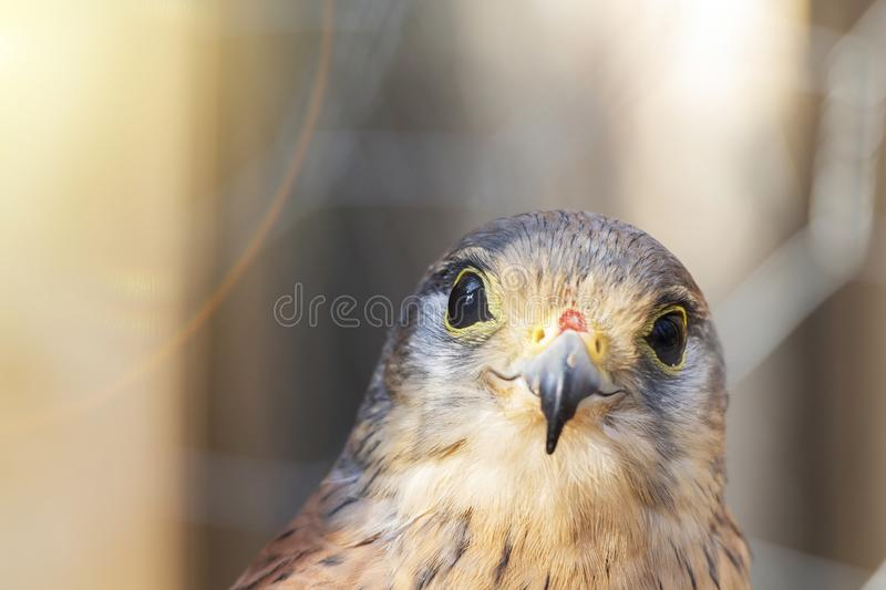 Little Falcon Sunny day. bird of prey, cheerful mood. smile.  royalty free stock photo