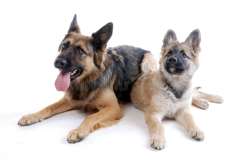 Little family. German shepherd mother with her 12 weeks young puppy stock photo