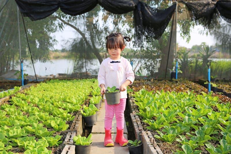 Little farmer girl holding young lettuce pot in lettuce plants stock photography