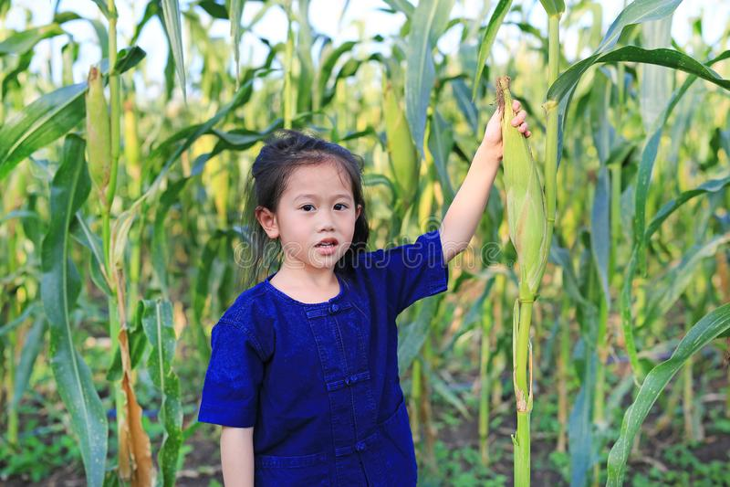 Little farmer harvest fresh corn on agriculture plantation stock images