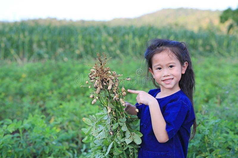 Little farmer harvest peanuts on agriculture plantation stock photography