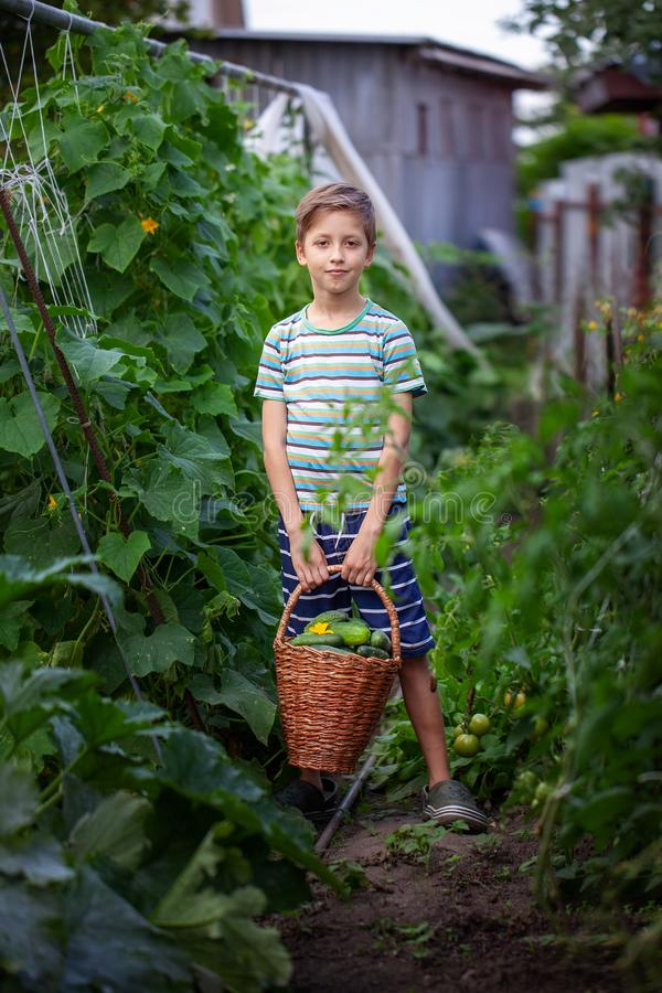 Little Farmers holding big basket with harvest of fresh homemade cucumbers. Organic vegetables. stock images