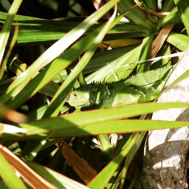 Do you see the lizard? royalty free stock photography
