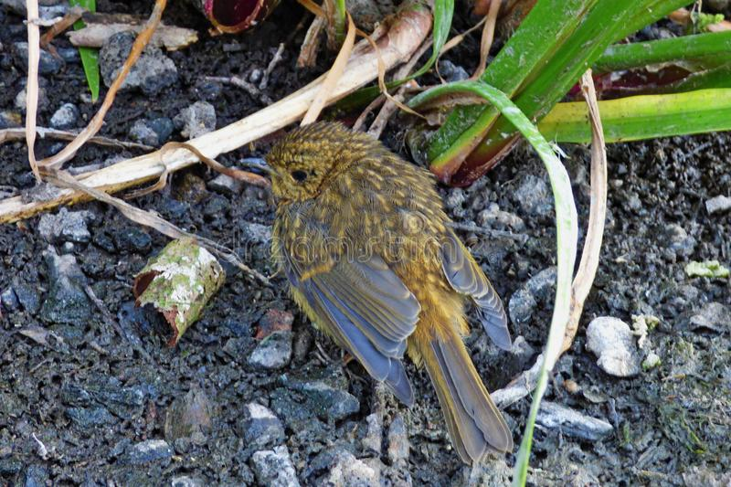 Little baby robin walking past me next to a lake, photo taken in the UK mid summer stock photos