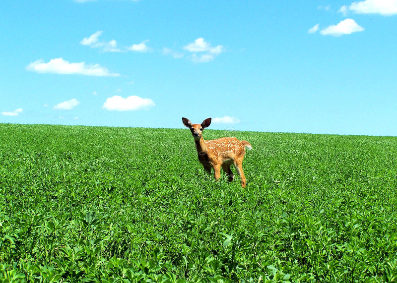 Download Little Fawn stock photo. Image of clouds, wisconsin, wild - 5709752