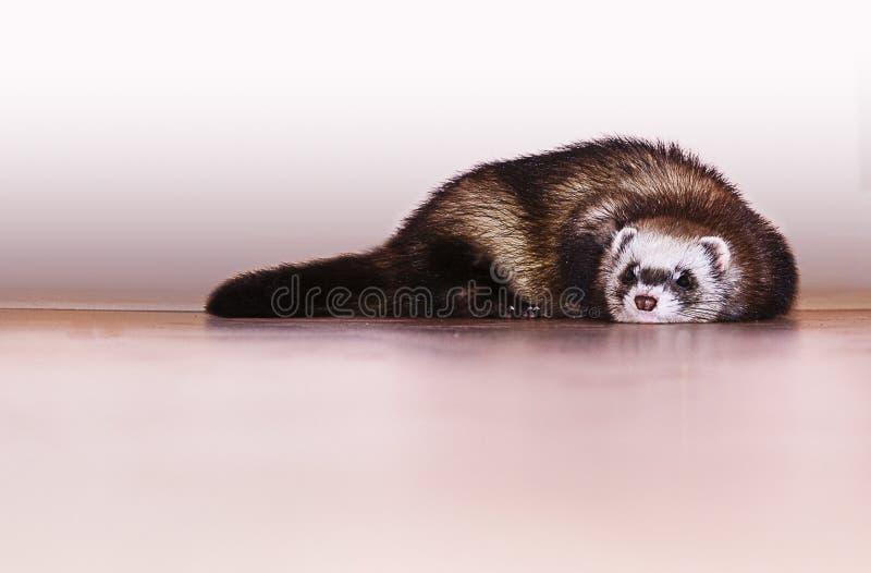 Little ferret royalty free stock image