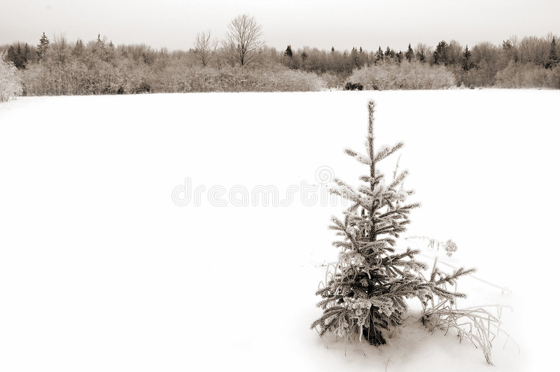 Download Little Fir Stock Images - Image: 54354