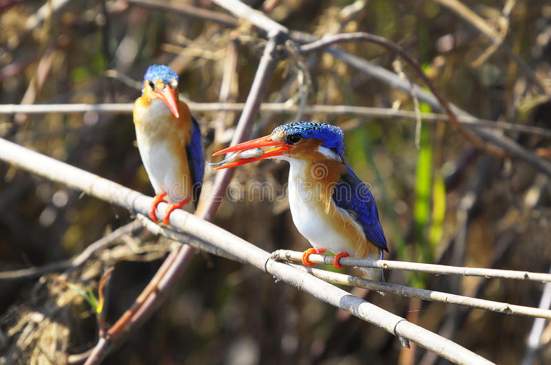 A little fish for dinner. This picture it was taken on Okawango Delta, Botswana royalty free stock photos