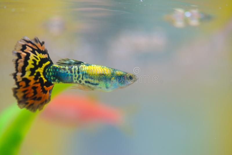 Little fish in fish tank or aquarium, gold fish, guppy and red f royalty free stock images