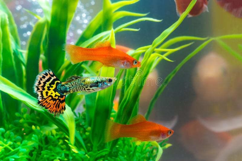 Little fish in fish tank or aquarium, gold fish, guppy and red f royalty free stock photography