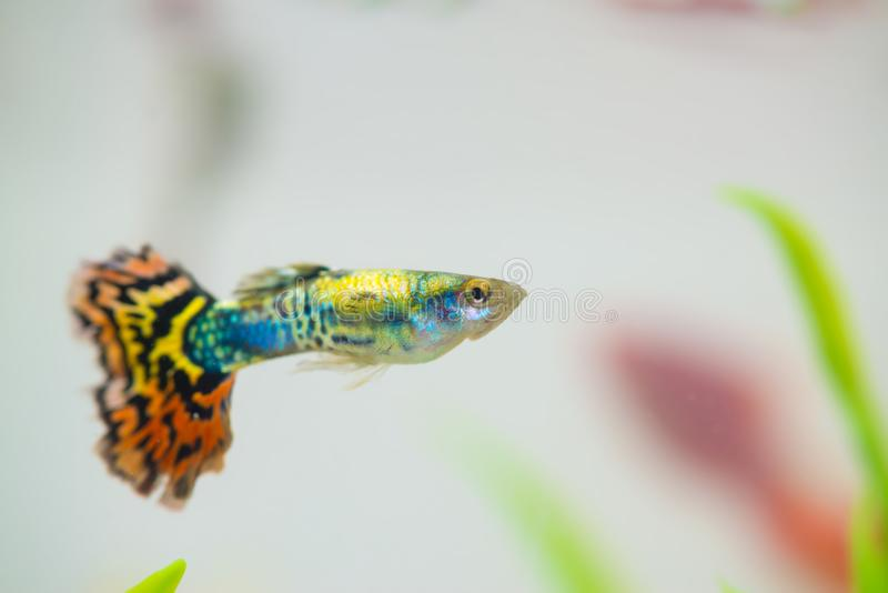 Little fish in fish tank or aquarium, gold fish, guppy and red f stock photography
