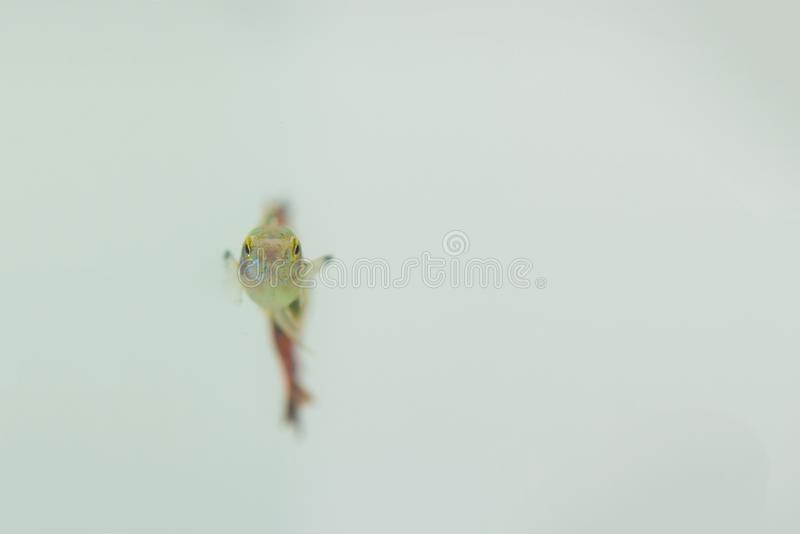Little fish in fish tank or aquarium, gold fish, guppy and red f stock photo