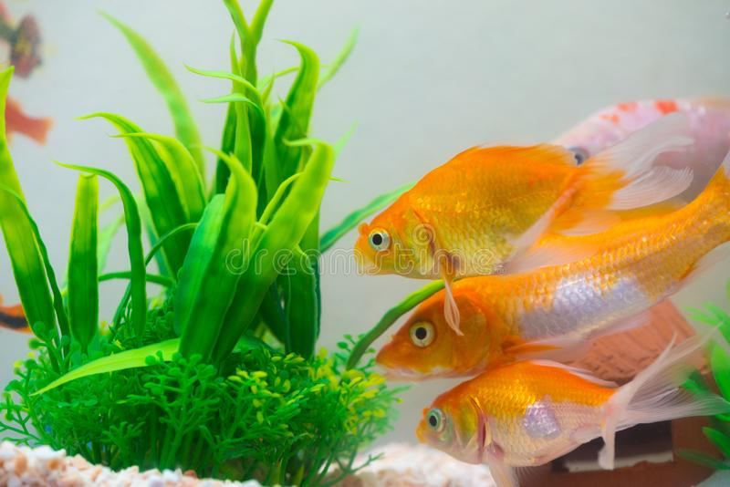 Little fish in fish tank or aquarium, gold fish, guppy and red f royalty free stock image