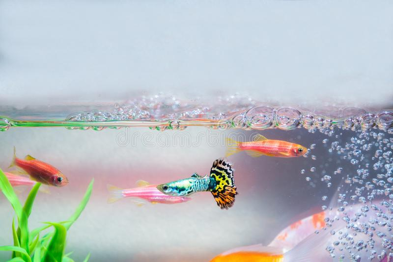 Little fish in fish tank or aquarium, gold fish, guppy and red f royalty free stock photo