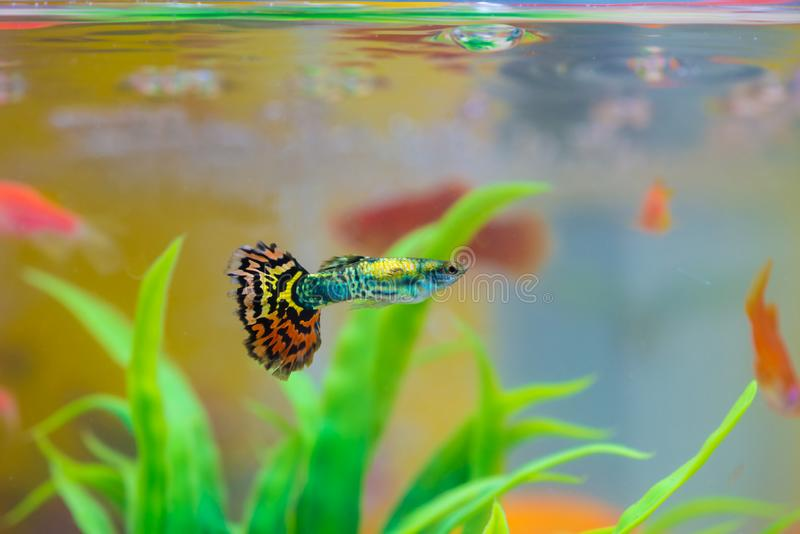 Little fish in fish tank or aquarium, gold fish, guppy and red f royalty free stock photos