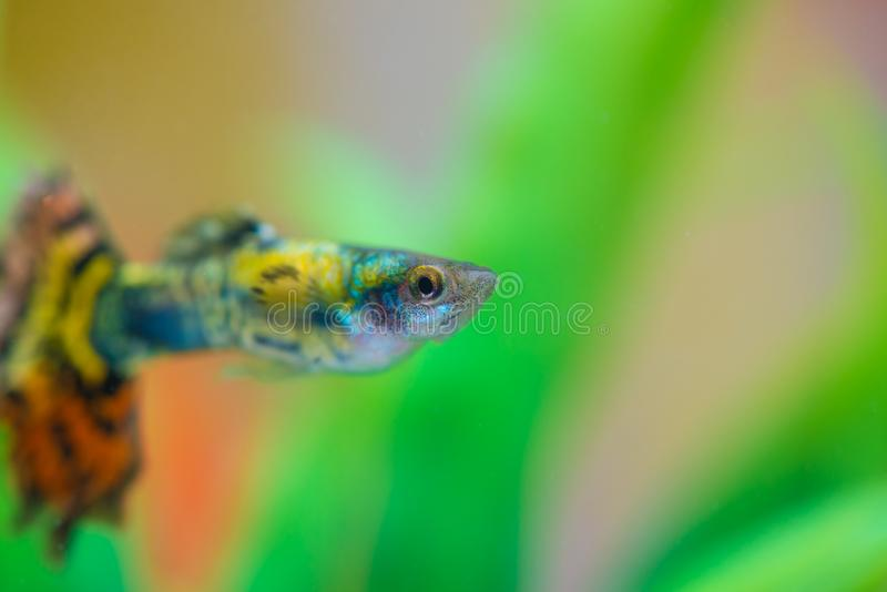 Little fish in fish tank or aquarium, gold fish, guppy and red f stock photos