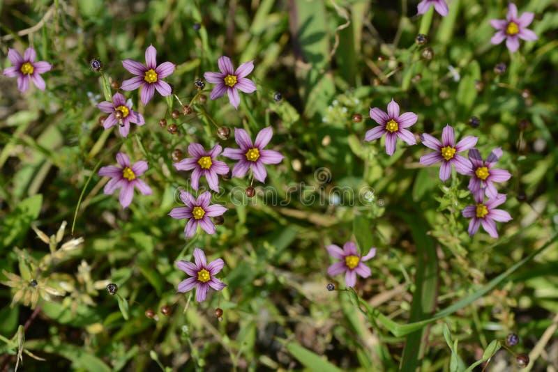 Blue-eyed grass royalty free stock photos