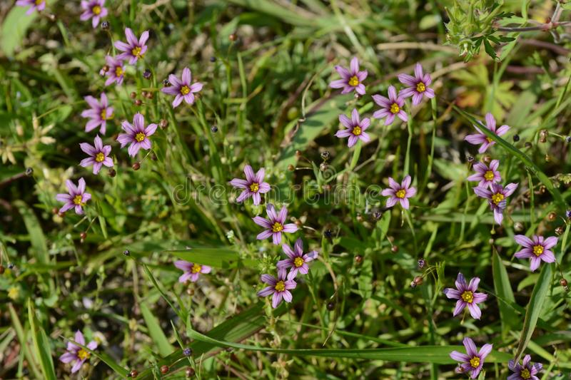 Blue-eyed grass stock photography