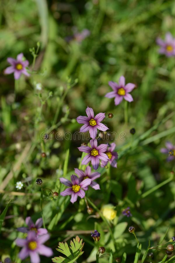Blue-eyed grass royalty free stock photography