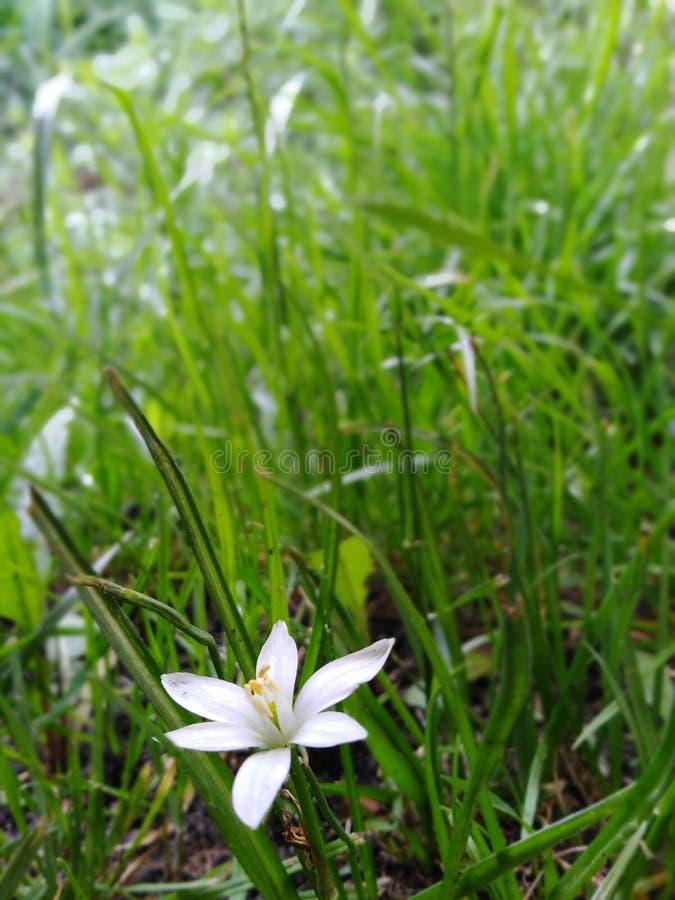 Little white flower. Little flower whi whit white royalty free stock image