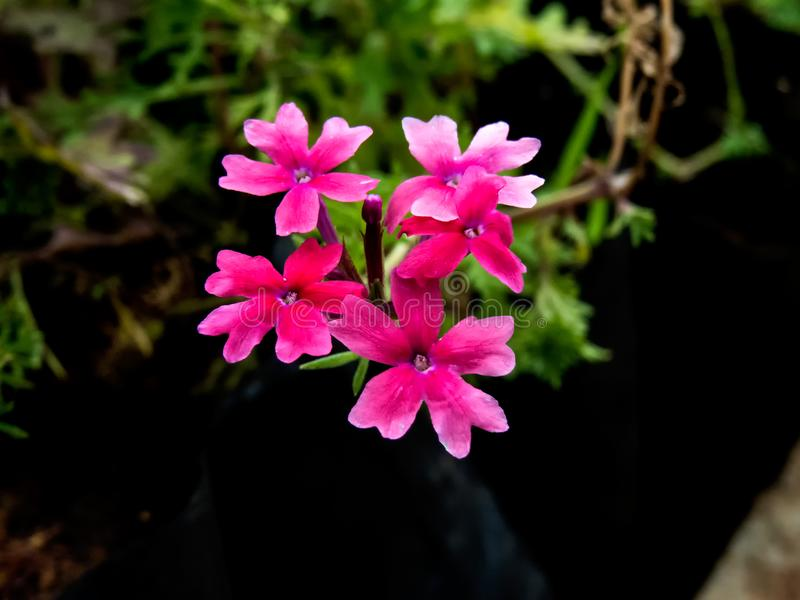 Little Flowers of Pink Rose Verbena India royalty free stock images