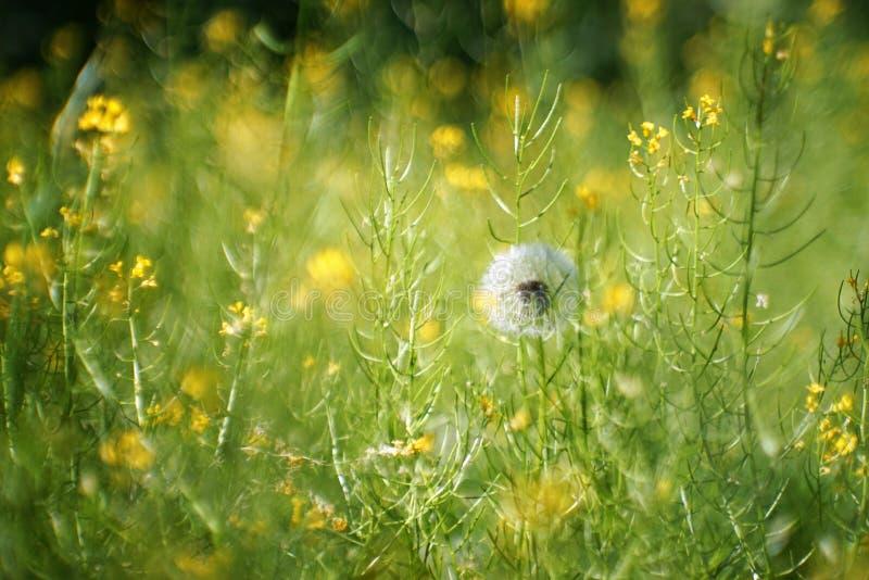 Little fluffy but already Mature dandelion royalty free stock photos
