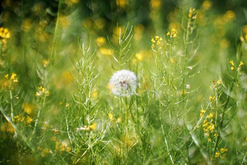 Little fluffy but already Mature dandelion royalty free stock images