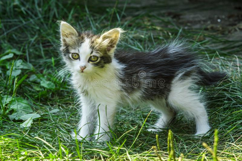 Little fluffy curious tired kitten. Cute black and white cat stock image