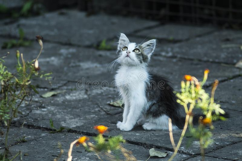 Little fluffy curious tired kitten. Cute black and white cat royalty free stock image