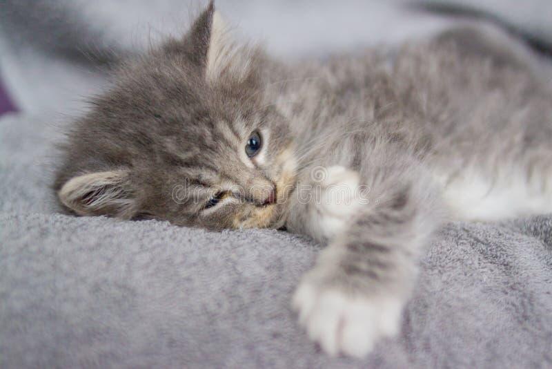 Little fluffy Grey Persian Maine coon kitten lies and sleeps on a gray pillow . Newborn kitten, Kid animals and cats concept stock photo