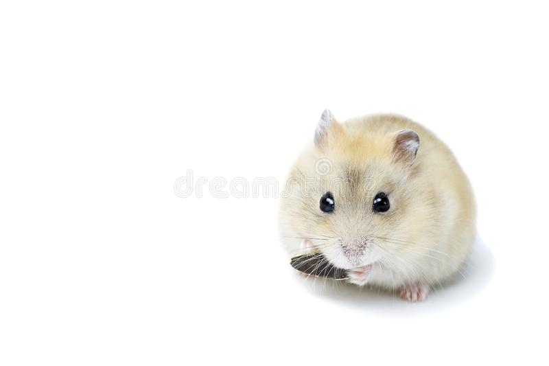 Little fluffy hamster eating a seed, isolated on white background royalty free stock photography