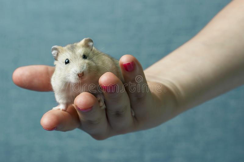 Little fluffy hamster in a female hand on blue background stock photography