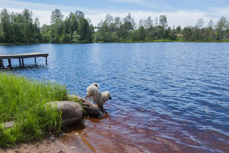 Little fluffy Keeshond puppy enters the lake water. With a big rock on the shore stock image