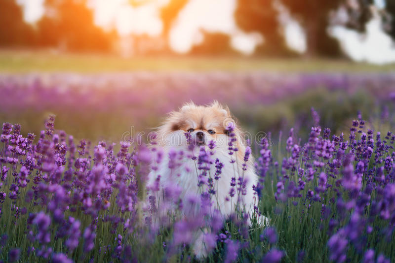 Little fluffy pomeranian dog in a hot summer with lavender field. Fluffy pomeranian dog in a hot summer lavander field stock photo