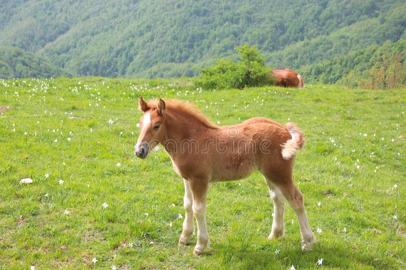 The little foal in the meadow stock image