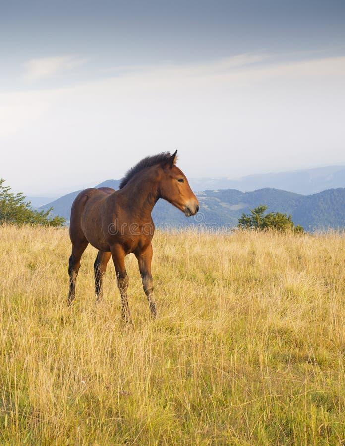 Little foal in meadow stock photography