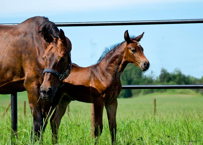 Download Little Foal With Mother In Paddock Royalty Free Stock Photography - Image: 23746397