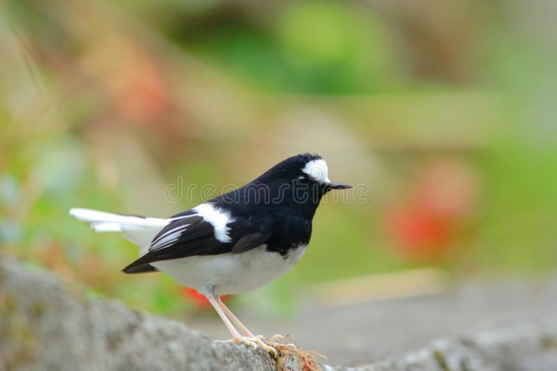 Download Little Forktail stock photo. Image of taiwan, feather - 8426630