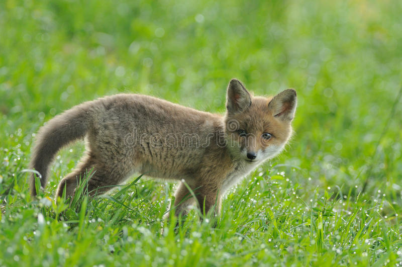 Little Fox. This fox baby i can photograph in the wet grassland after a cold night stock photography